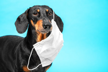 Portrait of a sick Dachshund dog, black and tan, wearing white antivirus medical mask on a blue background. concept of pet protection