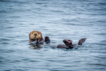 Close up of a sea otter in the ocean in Tofino, Vancouver island, British Columbia, Canada