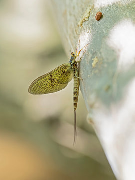 Mayflies are aquatic insects belonging to the order Ephemeroptera.
