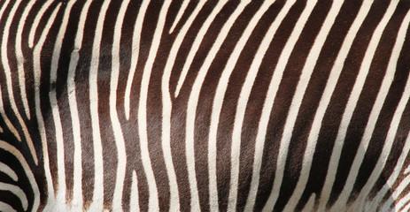 Canvas Prints Zebra detail of striped fur of Grevy´s zebra for background