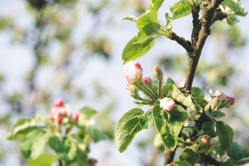 Beautiful flowers and buds of an apple tree in a fruit garden on a sunny spring day Fotobehang