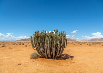 Plants and trees at the namib desert in Namibia
