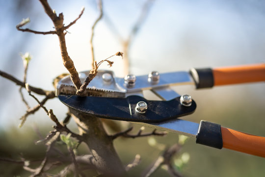 Pruning of trees with secateurs in the garden.