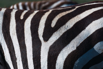 close up of a zebra's fur. Black and white patterns