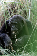 Photo of an adult chimpanzee eating with both hands between the grass in Tanzania.