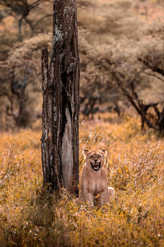 Roar of a lioness. Portrait of a lioness