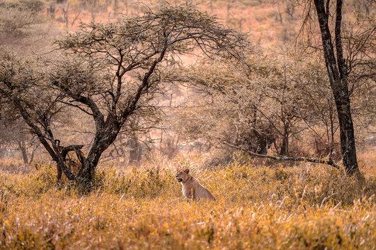 Young lioness in a long yawn. Tanzania