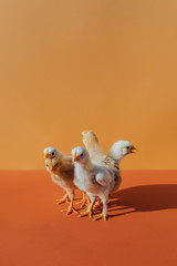 Baby Chicks On Colorful Background