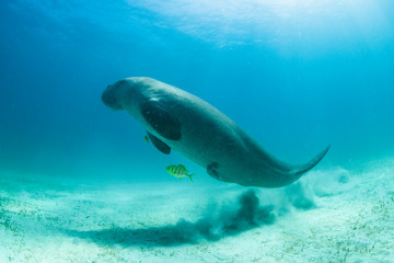 Rare and endangered Dugong feeding on Seagrass