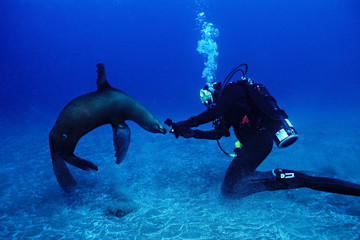 Female Diver with a playful sea lion, Santa Barbara Is., Channel Is.