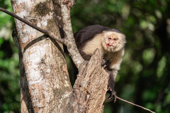 Wild white faced Capuchin monkey in Costa Rica