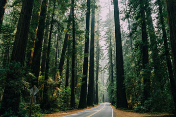 winding road with large redwood trees towering overhead during the day