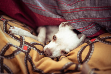 cute sleepy small dog with green eyes lays under blankets in home nest