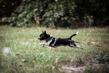Foto op Plexiglas Centraal Europa tiny chihuahua mid air run across green grass park with harness