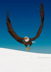 Fototapete - bald eagle is flying up on white snow front view
