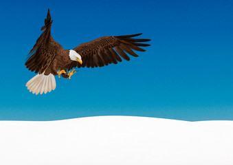 Fototapete - bald eagle in action on white snow with copy space