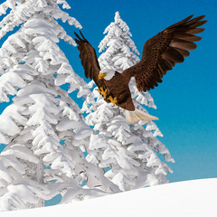 Fototapete - bald eagle is attacking on white snow side view