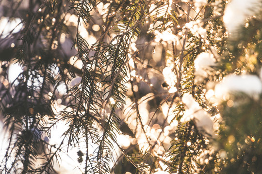 Spruce tree branches with white snow on top with the evening sun shining through in winter producing sunflairs