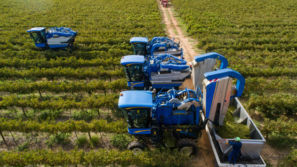 Fototapeta Aerial photo of grape harvesters harvesting grapes in the cape winelands in south africa