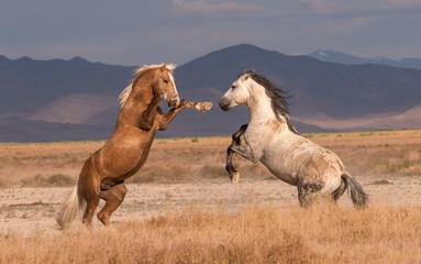 Onaqui Wild horse duel
