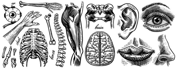 Anatomy of human bones and muscles. Organ systems. Body and Thorax and pelvis, heart and brain, eye and spine, sensory cortex. Leg and arm. Hand drawn engraved biology illustration. Wall mural