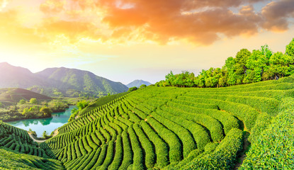 Fotorolgordijn Zwavel geel Green tea mountain at sunset,tea plantation background.