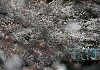 People wearing protective face masks are seen among blooming cherry blossoms in Tokyo