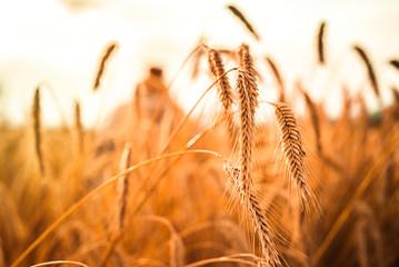 Foto auf Leinwand Rotglühen Ripe ears of golden wheat close up. Wheat field. Harvest Concept
