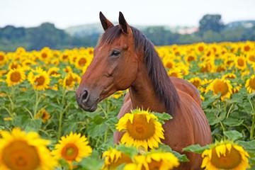 Portrait of nice horse on sunflower field