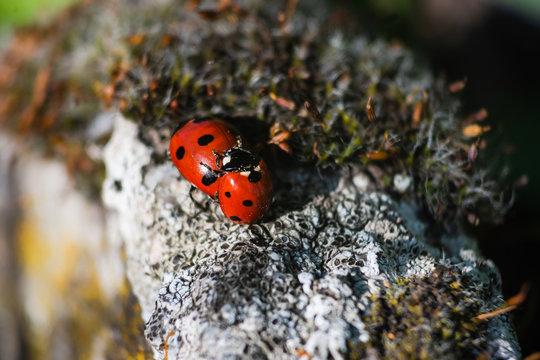 accouplement de coccinelles, insectes rouges et noirs au printemps
