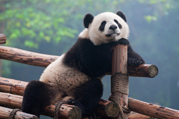Photo sur Aluminium Panda Cute giant panda bear