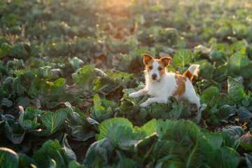 dog on the field in cabbage. sweet jack russell terrier. Sunny field of vegetables