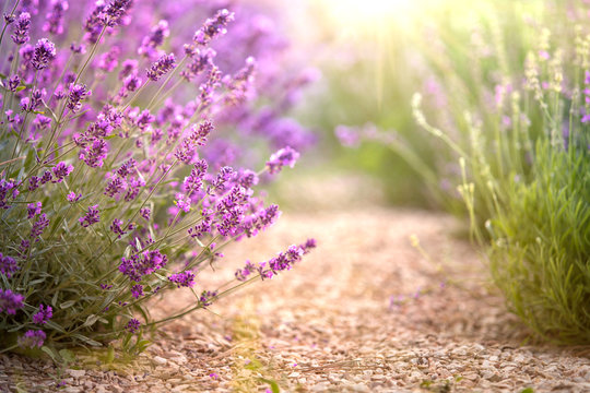 Lavender field with thin line of gravel ground. Beautiful image of lavender field closeup. Lavender flower field, image for natural background.