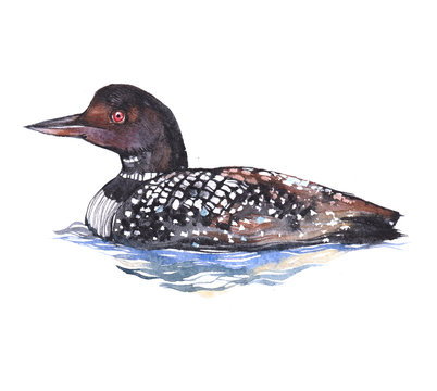 Watercolor loon  bird animal on a white background illustration
