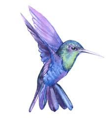 Watercolor hummingbird  bird animal on a white background illustration