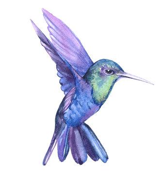 Watercolor hummingbird  bird animal on a white background illustration