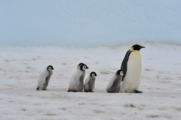 Tuinposter Pinguin Emperor Penguins with chicks