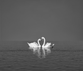 Photo sur Toile Cygne two white swans on blue lake