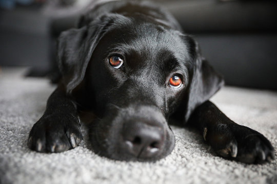 Junger schwarzer Labrador mit braunen Augen liegt im Wohnzimmer auf einem Teppich