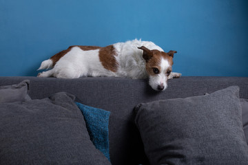 quarantined dog. Jack Russell Terrier is lying on the couch. Resting. funny pet