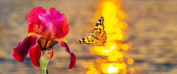 Butterfly flies to red flower on river background during sunset_