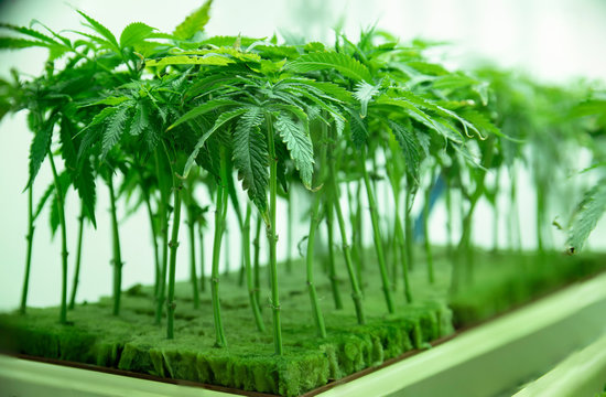 Young Cannabis Plant Clones Seedlings in Vegetation at Commercial Legal Marijuana Hemp Growing Business