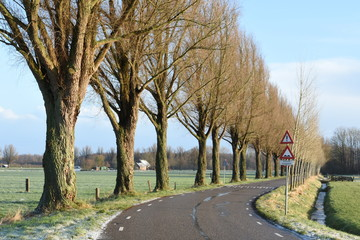 road with poplar trees