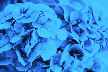 Papiers peints Hortensia Blue hydrangea or hortensia flower, floral background