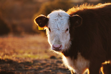 Wall Mural - Hereford calf close up in sunset, copy space on field background.