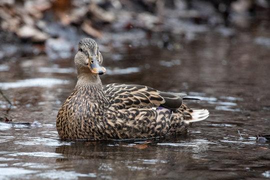 Closeup Pond Swimmer Solitary Green Brown and White Female Mallard Duck