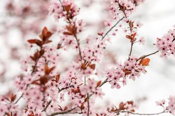 Papiers peints Fleur de cerisier Multitude de fleurs de cerisier japonais au printemps