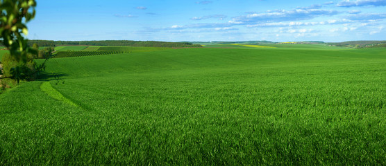 Wall Mural - Panoramic view of weaves of green field with blue sky