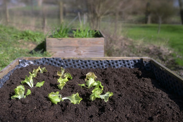 Lettuce seedlings planted in dark soil in a raised bed, vegetable cultivation in a rural garden, copy space