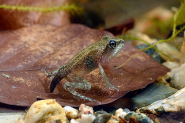 Garden Poster Frog fast fertig entwickelte Springfrosch-Larve (Rana dalmatina) - juvenile Agile frog, Germany